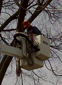 Man Pruning an Elm Tree from a Bucket